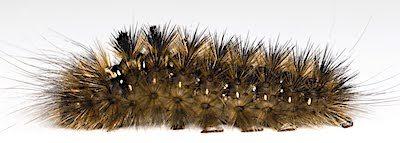コシロオビドクガの老齢幼虫側面