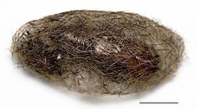 コシロオビドクガの繭背面
