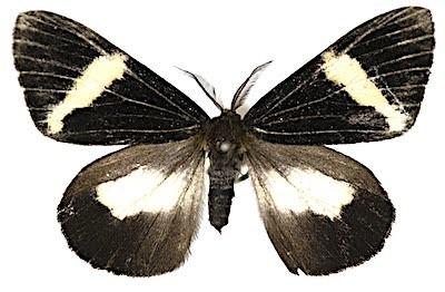 コシロオビドクガのオス成虫