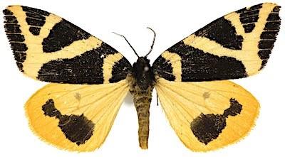コシロオビドクガのメス成虫