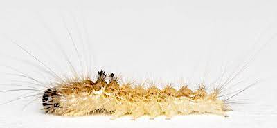 クロモンドクガの若齢幼虫側面