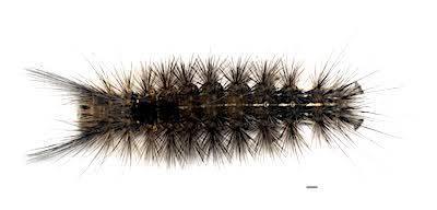 クロモンドクガの老齢幼虫背面