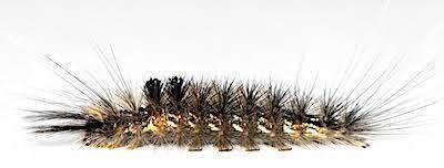 クロモンドクガの老齢幼虫側面