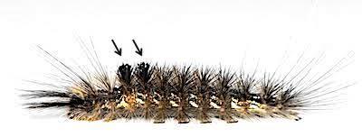 クロモンドクガ老齢幼虫の毒針毛束