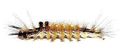 クロモンドクガの中齢幼虫側面