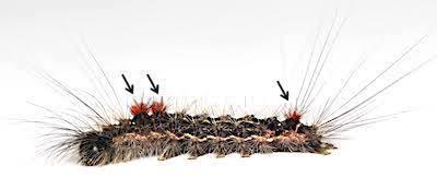 シロオビドクガ中齢幼虫の毒針毛の束