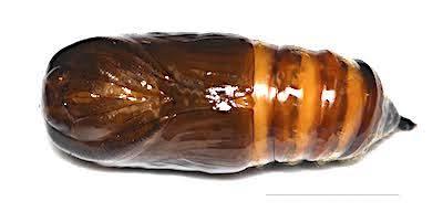 クロモンドクガの繭の中の蛹腹面