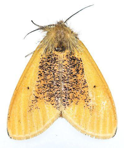 クロモンドクガのメス成虫