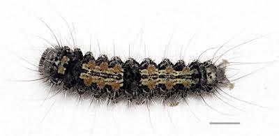 ヨツボシホソガの若齢幼虫背面