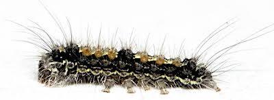 ヨツボシホソガの若齢幼虫側面