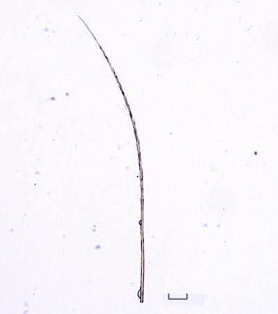 ヨツボシホソガの中齢幼虫の毛