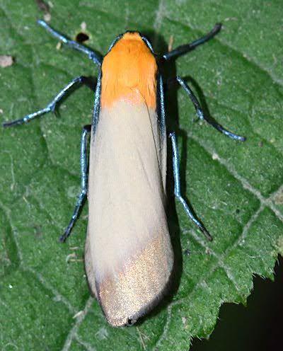 ヨツボシホソガのオス成虫