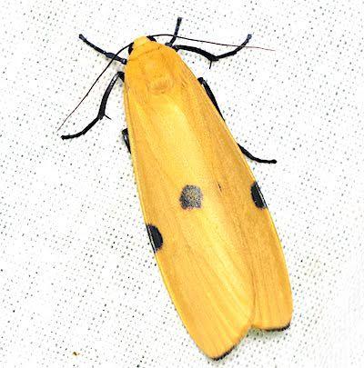 ヨツボシホソガのメス成虫