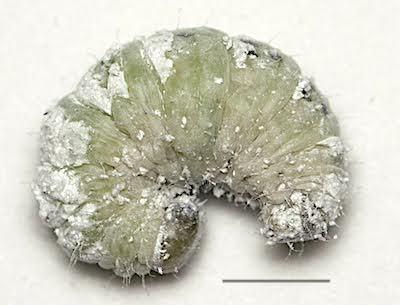 アゲハモドキの繭の中の幼虫(前蛹)