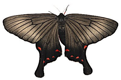 アゲハモドキのメス成虫