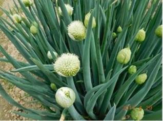 集団のほぐれる六十路葱の花