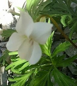 白花すみれ