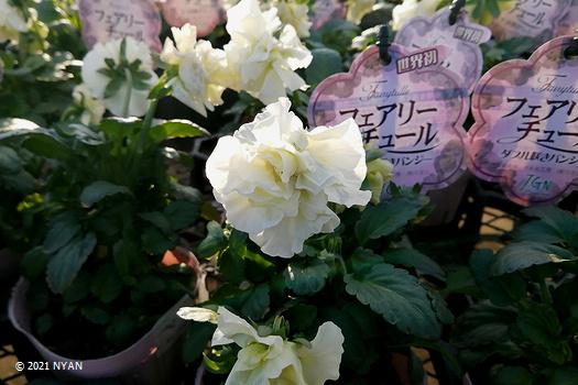 ガーデン・パンジー(ダブル咲き)