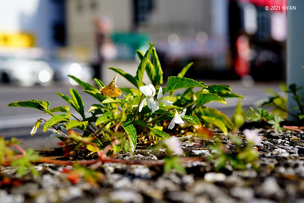 アツバスミレ(二色咲き)