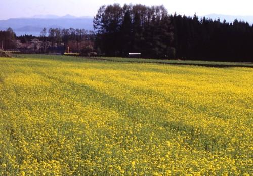 1.菜の花畑-01P 99qq