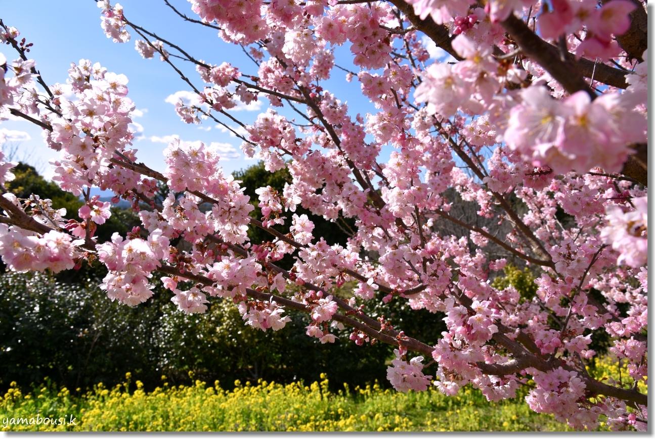 桜三月「春めき桜」 1