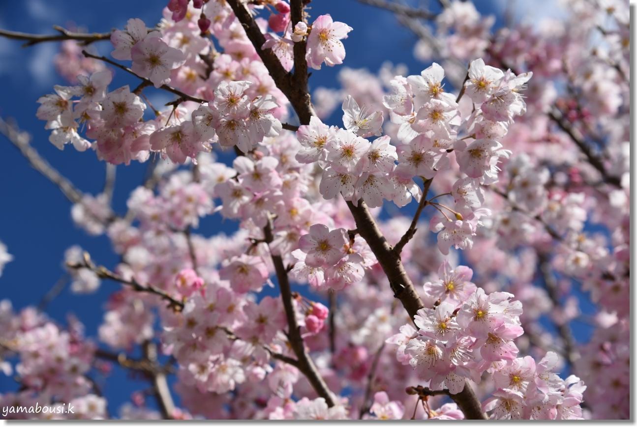 桜三月「春めき桜」 2
