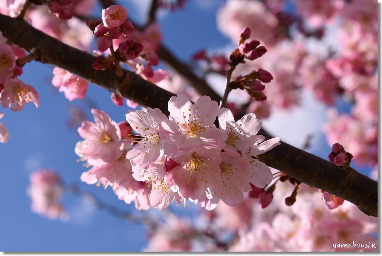 桜三月「春めき桜」 4