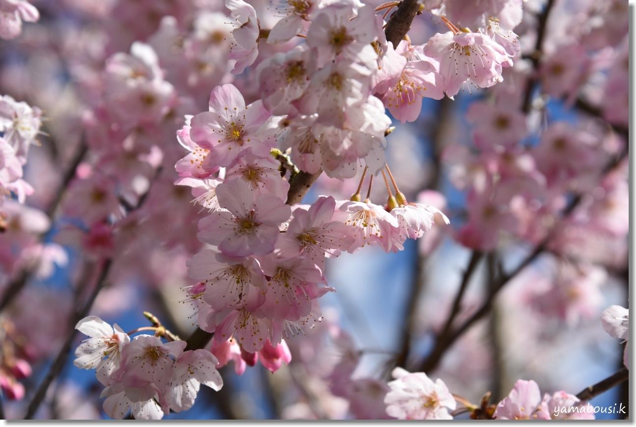 桜三月「春めき桜」 5