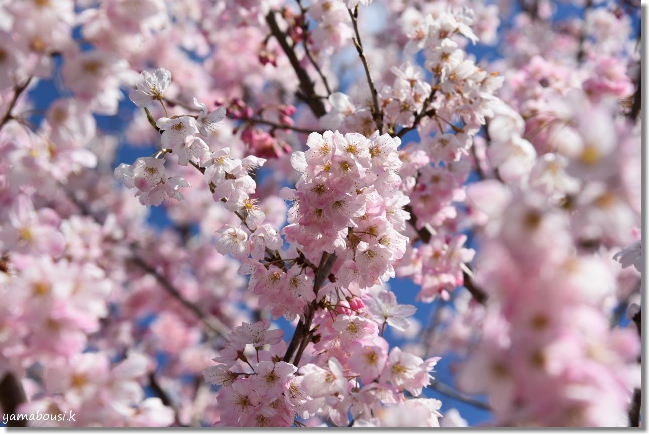 桜三月「春めき桜」 3