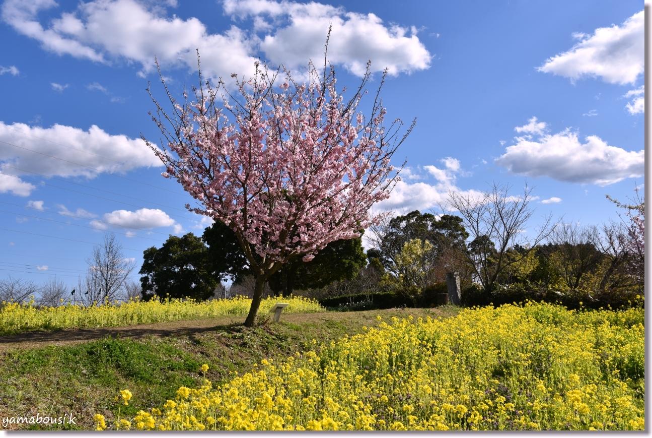 桜三月「春めき桜」
