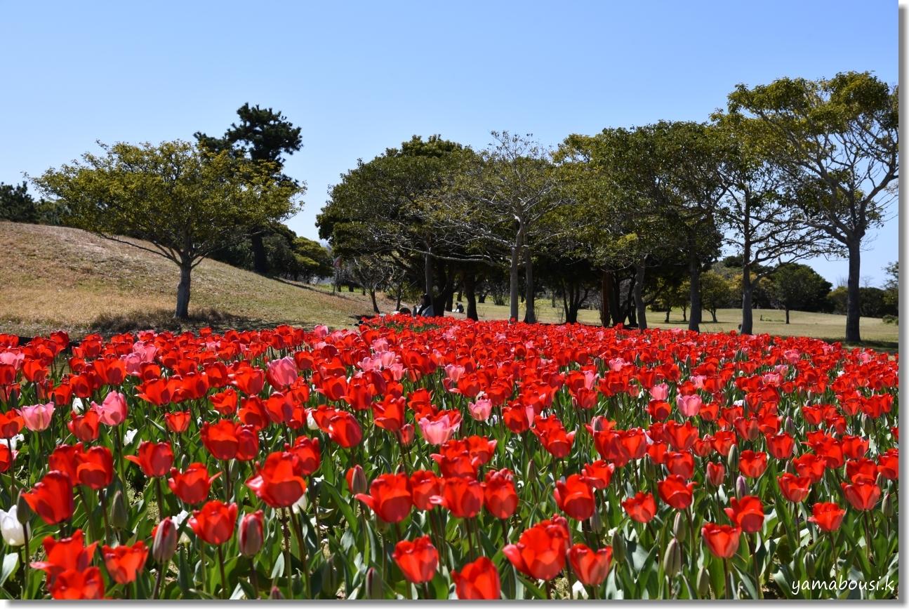 うみなか(2020)春咲きチューリップ 6