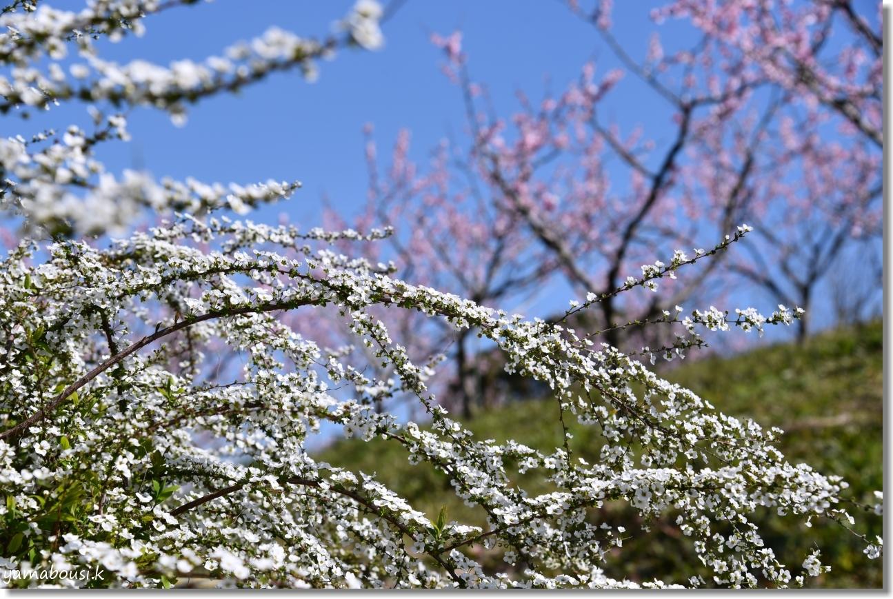 春に咲く雪柳とアーモンドの花 1