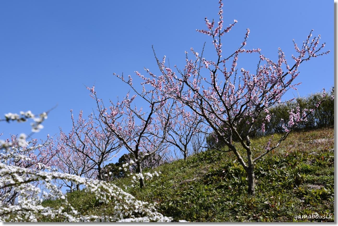 春に咲く雪柳とアーモンドの花 2
