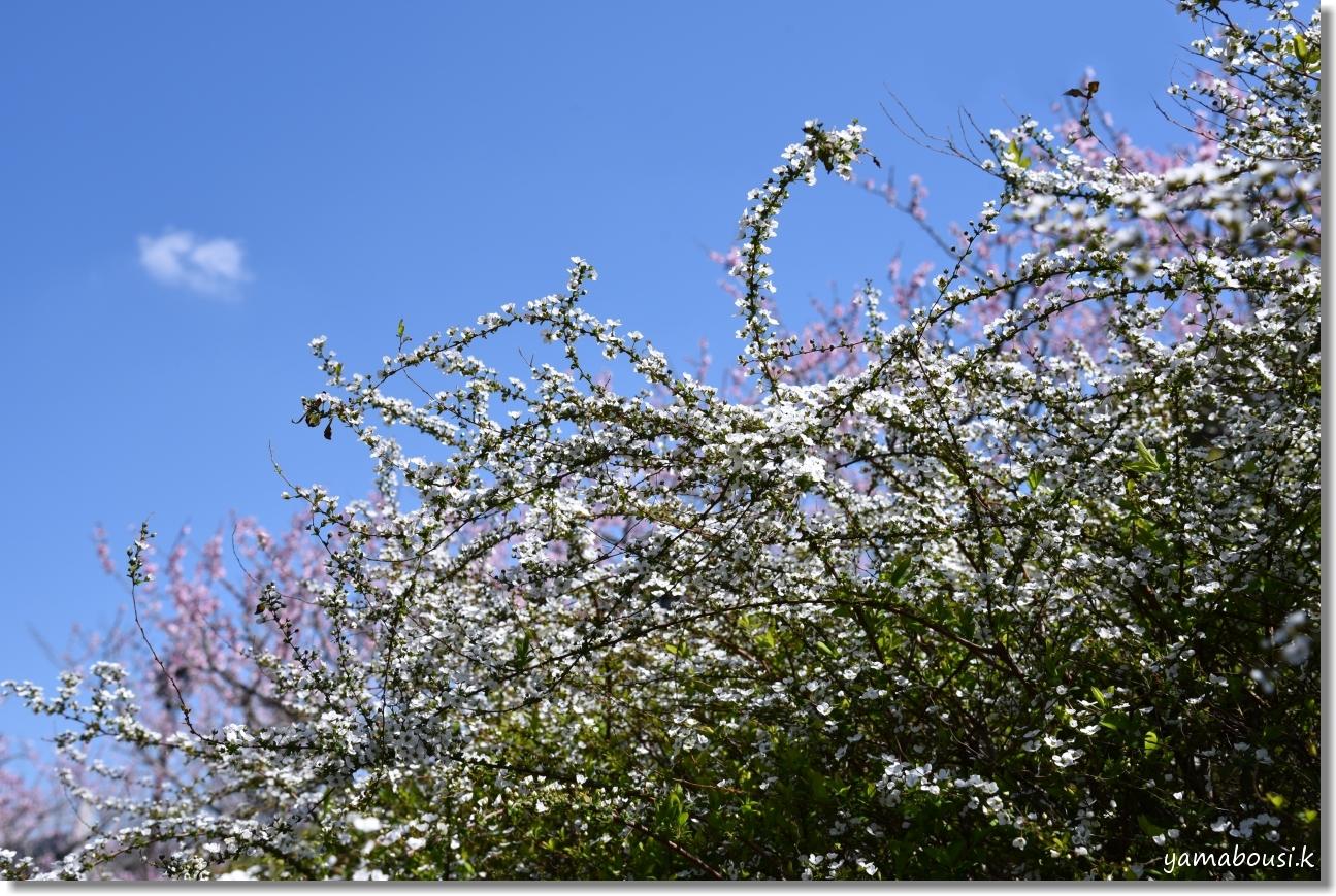 春に咲く雪柳とアーモンドの花 3