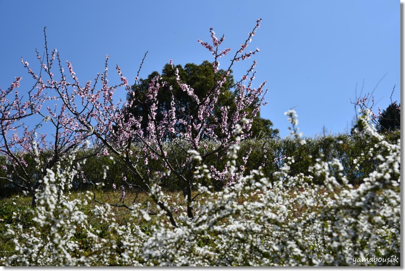 春に咲く雪柳とアーモンドの花 4