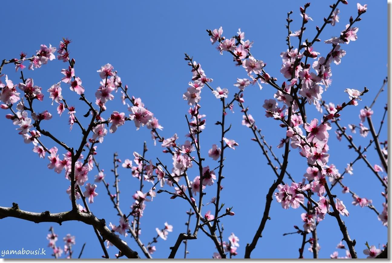 春に咲く雪柳とアーモンドの花 5