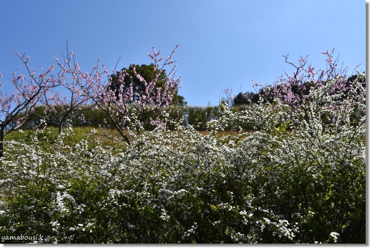 春に咲く雪柳とアーモンドの花 6