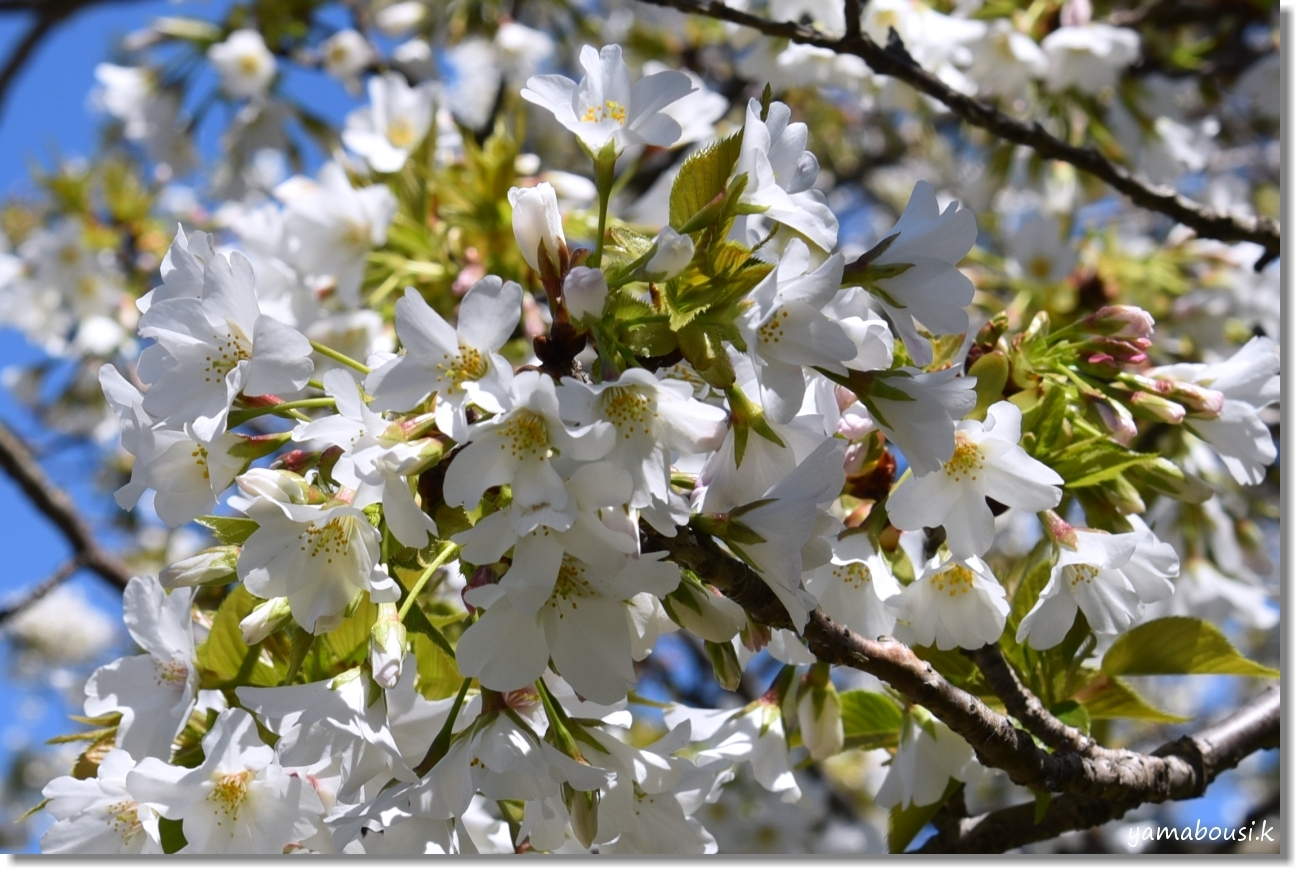 うみなか(2020)白い桜はオオシマザクラ 1