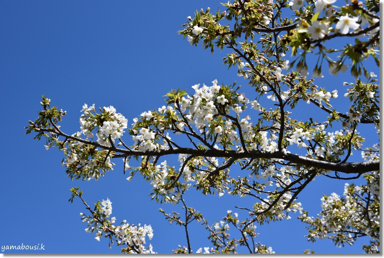 うみなか(2020)白い桜はオオシマザクラ 3