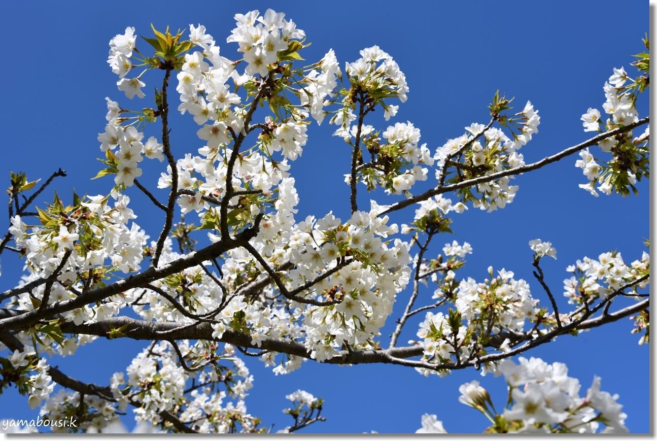 うみなか(2020)白い桜はオオシマザクラ 4