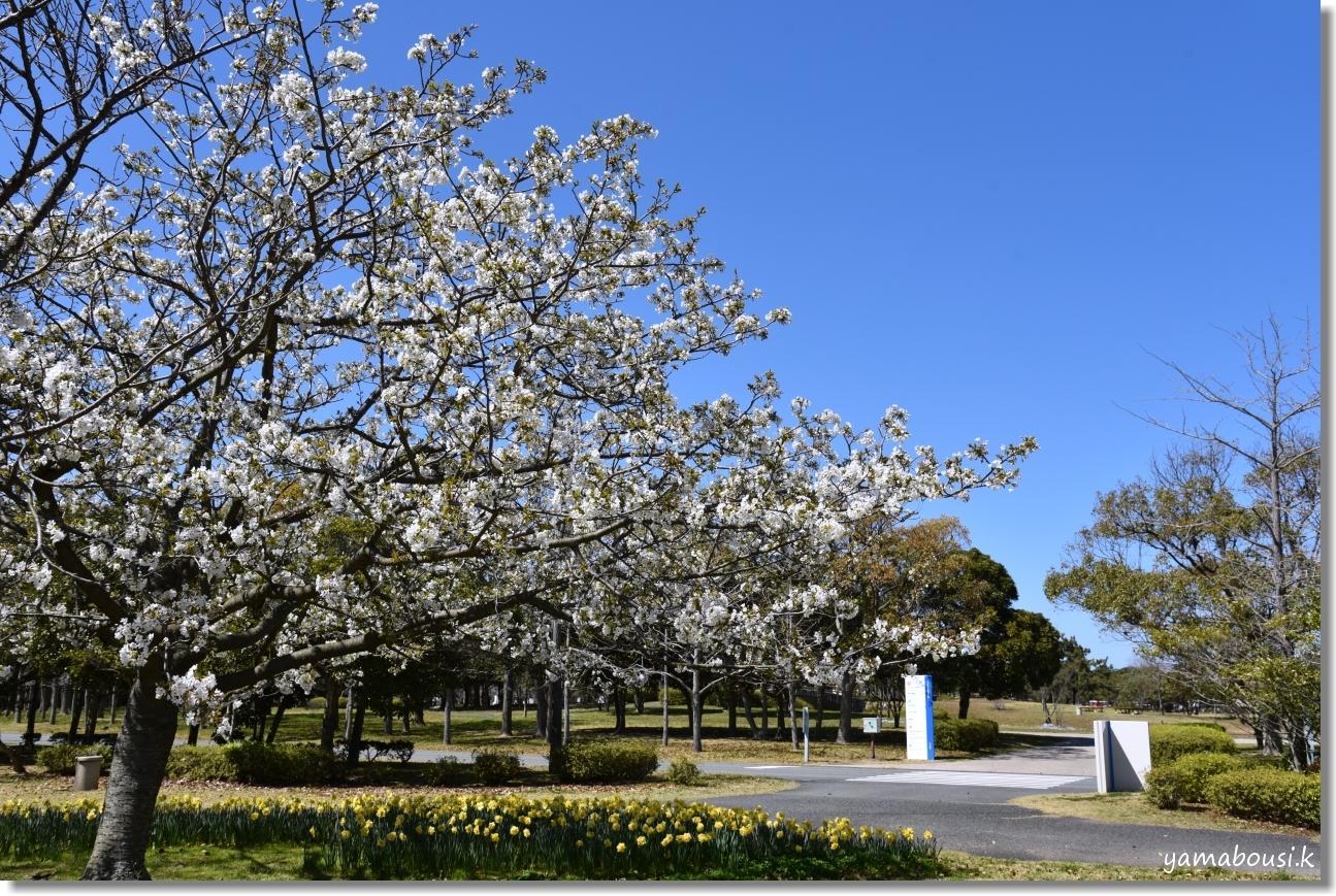 うみなか(2020)白い桜はオオシマザクラ 5