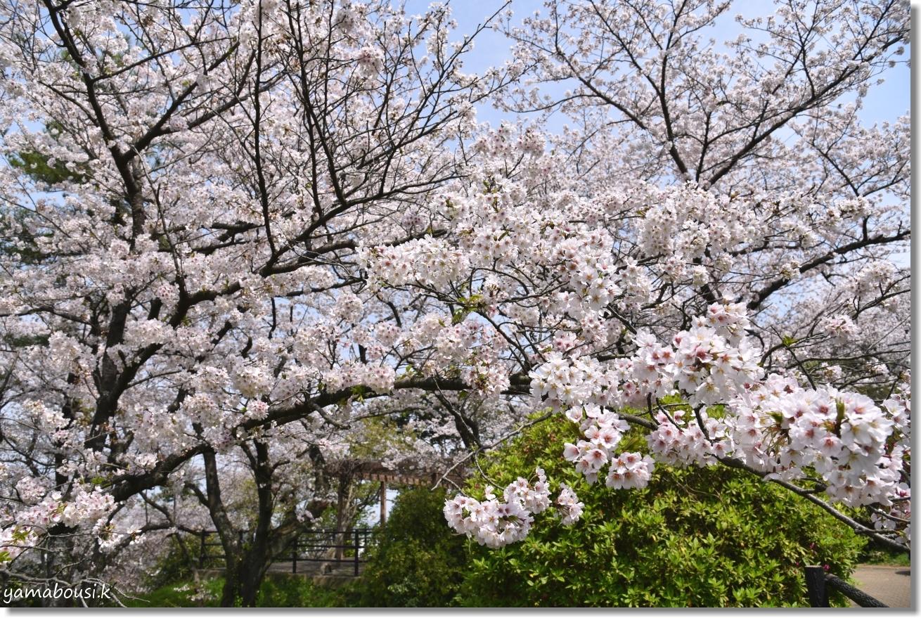 西公園の桜(染井吉野) 1