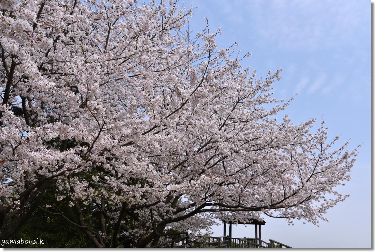 西公園の桜(染井吉野) 4