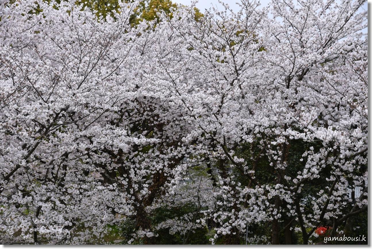 西公園の桜(染井吉野) 3