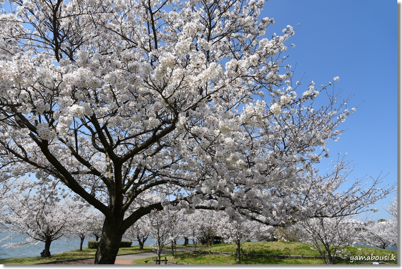 駕与丁公園 春の桜は美しく 1