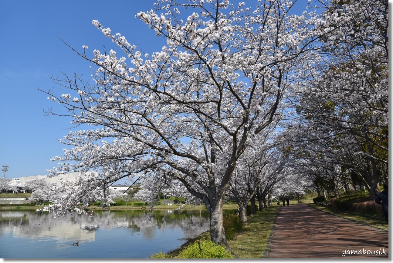 駕与丁公園 春の桜は美しく 3