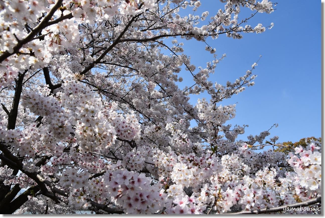 駕与丁公園 春の桜は美しく 5