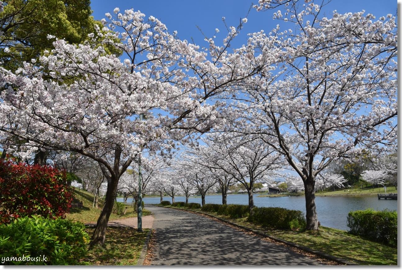 駕与丁公園 春の桜は美しく 6