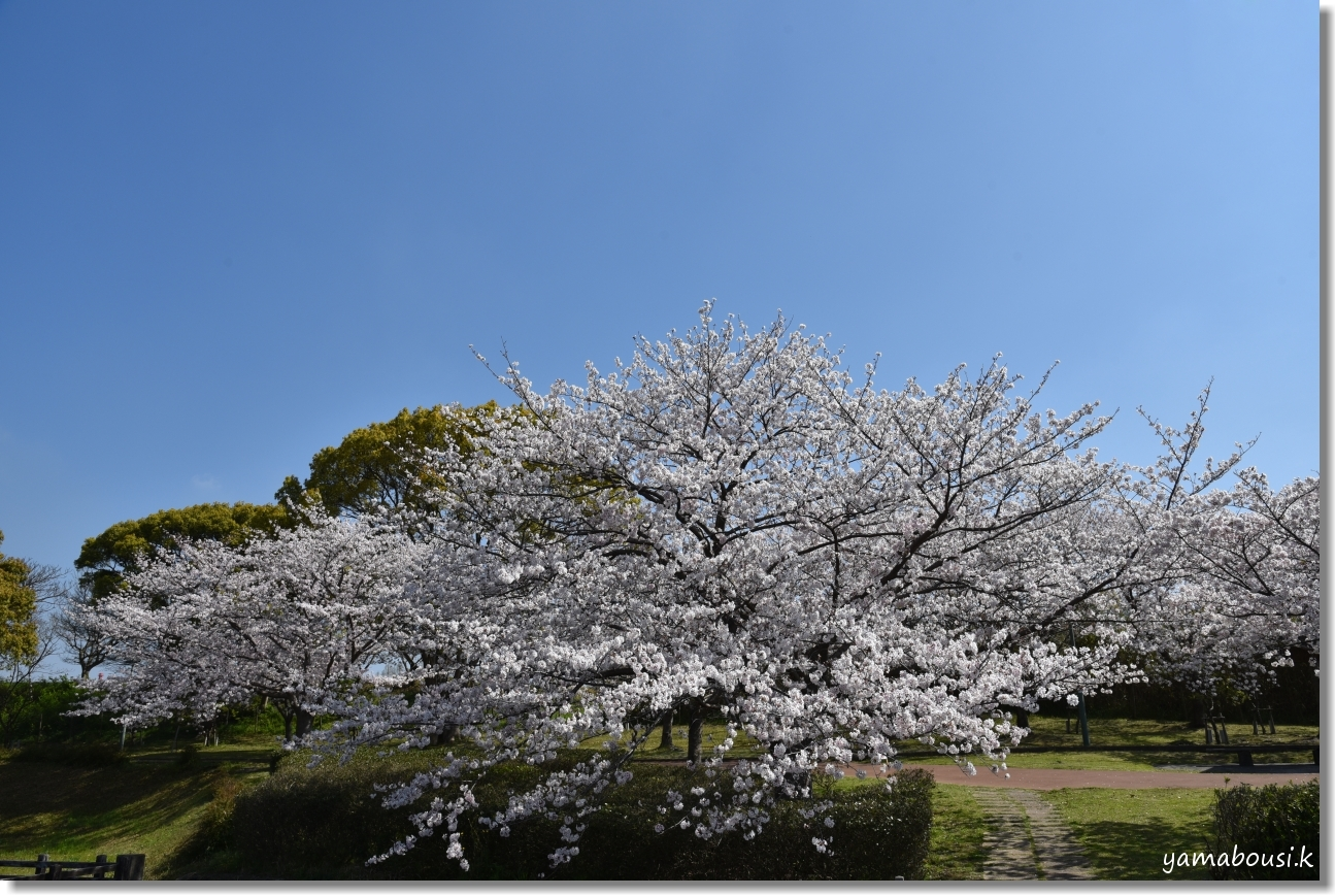 駕与丁公園 春の桜は美しく 7