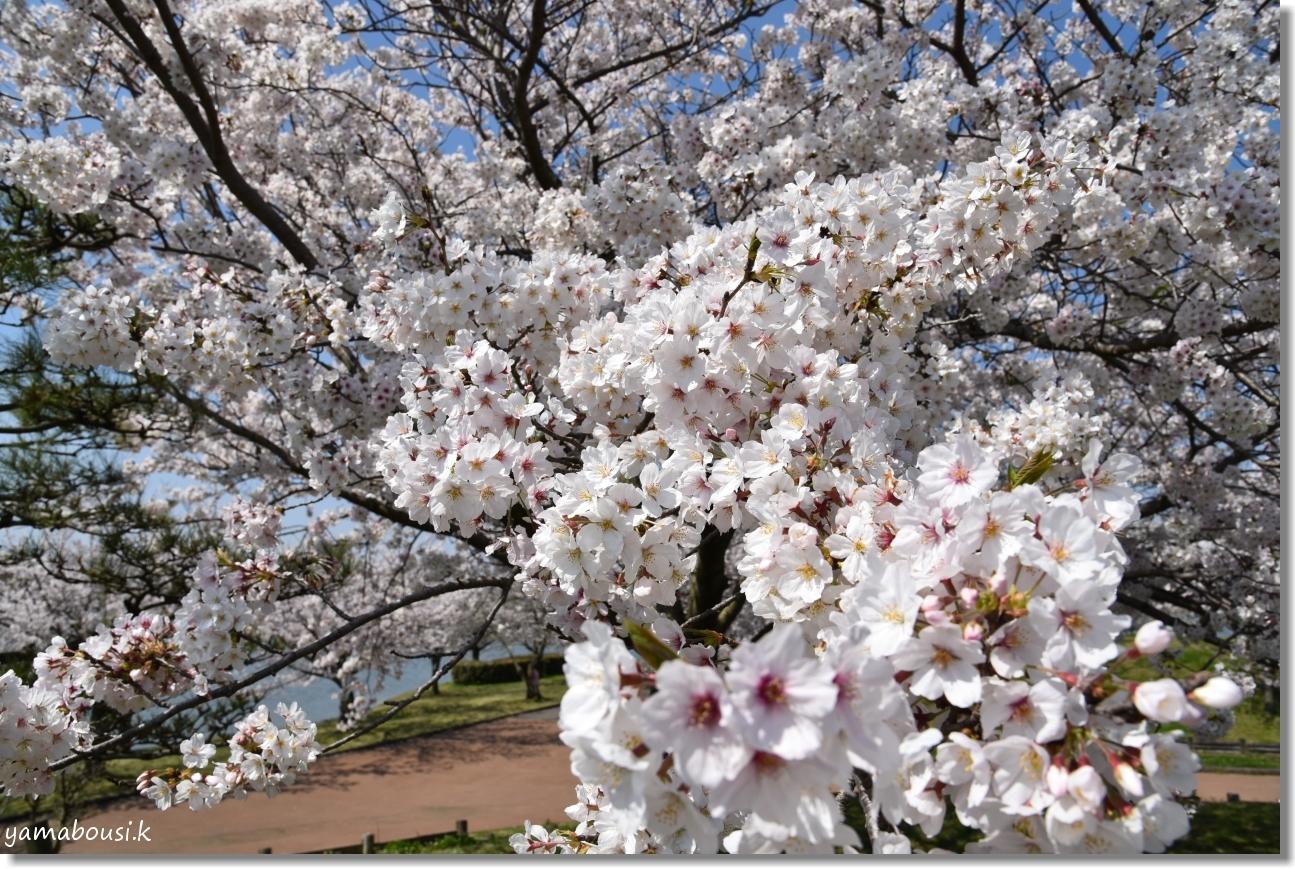 駕与丁(かよいちょう)公園 桜輝く春に。2